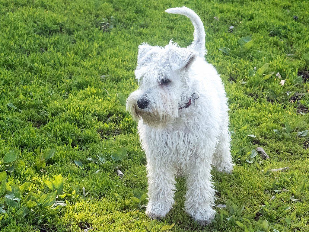 miniature_schnauzer_puppy_standing_from_front